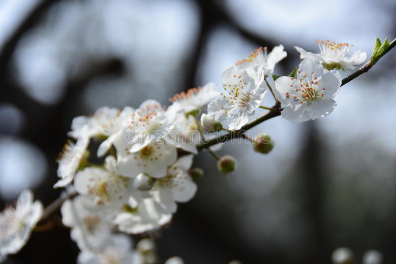 Зацветая время яблони весной стоковые изображения rf