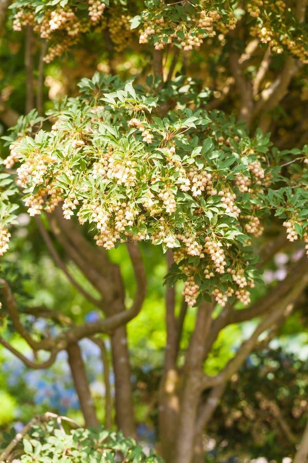 Зацветая японский Pieris в саде стоковое изображение