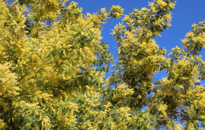 зацветенное дерево с желтыми цветками мимозы цвести весной стоковое фото rf