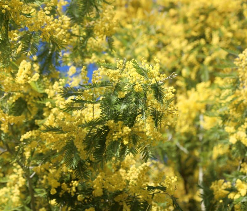 зацветенное дерево с желтыми цветками мимозы цвести весной стоковые изображения