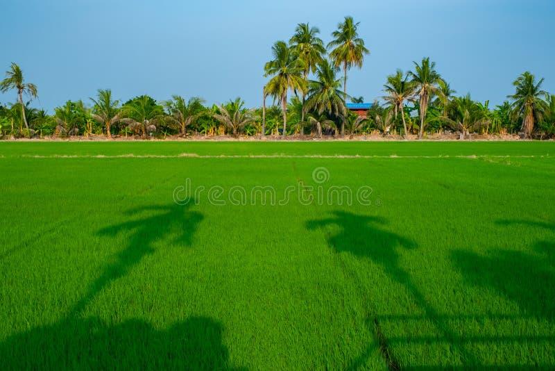 Заход солнца на поле риса в Таиланде стоковое изображение rf