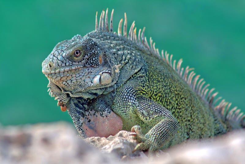 зеленая игуана стоковые изображения