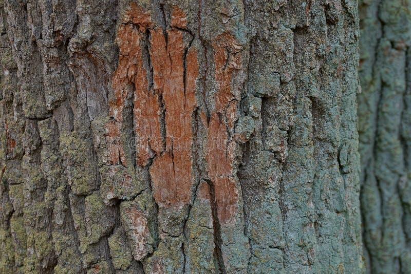 Зеленая коричневая естественная текстура коры на большом дереве стоковое фото