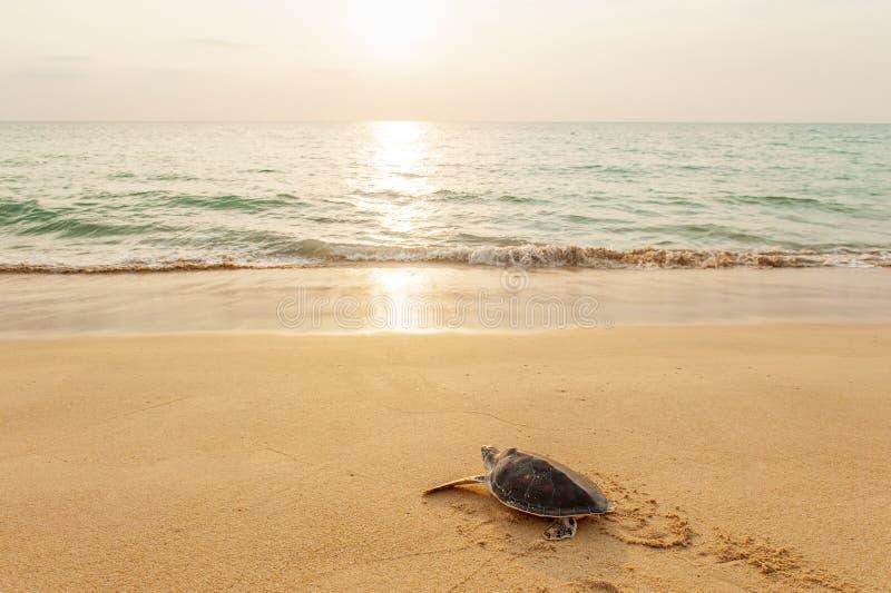Зеленая морская черепаха на тропическом пляже на заходе солнца, возглавляя для океана в первый раз Соотечественник Mueang Lampi-ш стоковое изображение