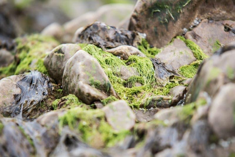 Зеленые водоросли на утесах моря после сильного шторма стоковое изображение