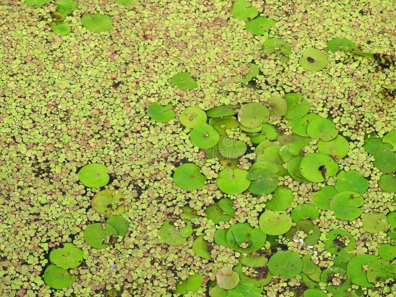 Зеленые листья на воде летом, Литве стоковая фотография rf