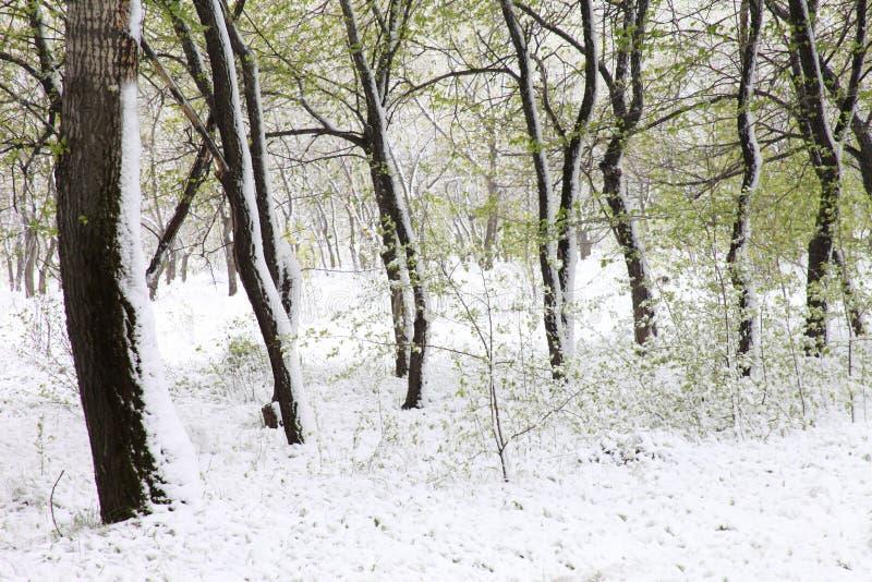 Зеленые деревья в снеге asp весна Сибиря стоковые изображения rf
