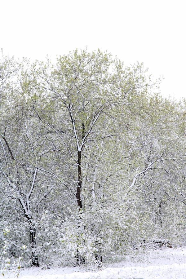 Зеленые деревья в снеге asp весна Сибиря стоковая фотография