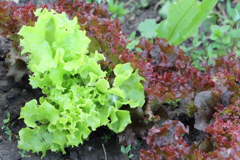 Зеленый и красный салат в саде стоковые фото