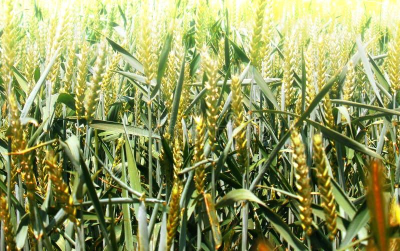 Зеленый конец пшеничного поля вверх по - готовому пока для сбора стоковое изображение