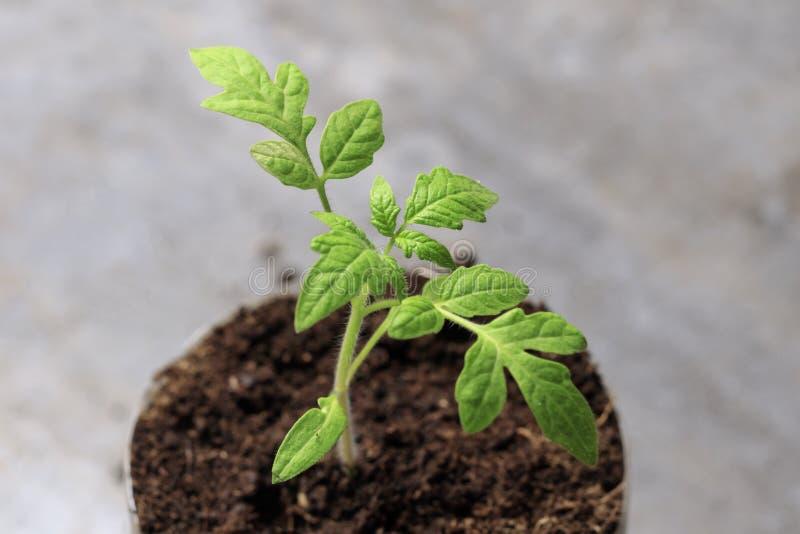 зеленый малый росток фотография макроса будущий томат появилась от земли стоковое изображение