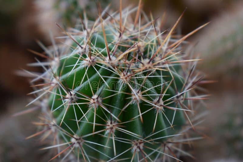 Зеленый мясистый кактус с длинными колючими иглами стоковое фото rf