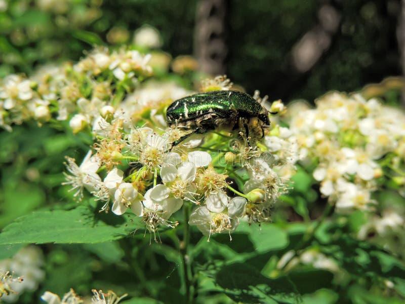 Зеленый цвет поднял жук-чефер на цветках стоковое изображение
