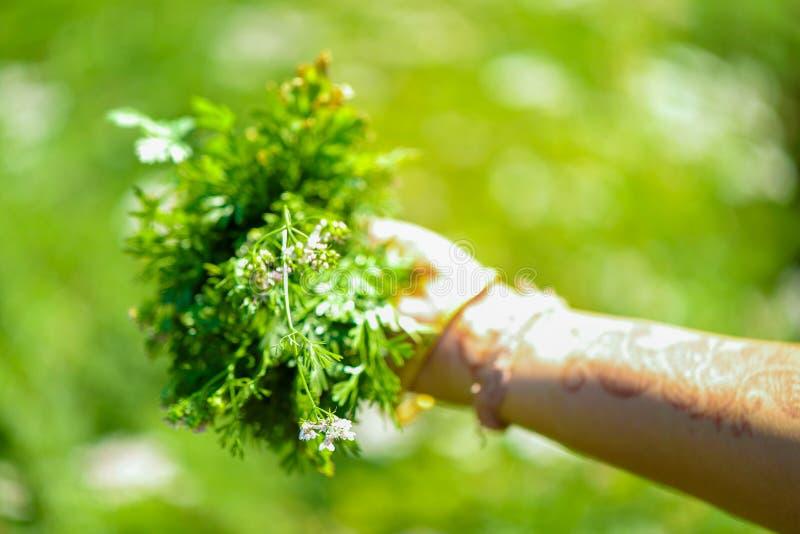 зеленое поле кориандра стоковые фотографии rf