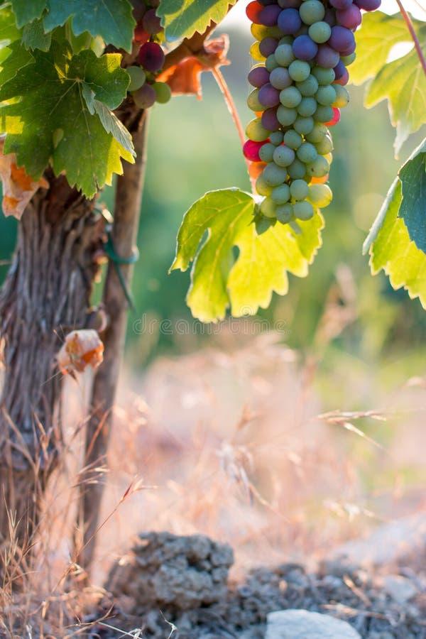Зрелые виноградины лозы на космосе фермы, соломы и экземпляра Италия Тоскана стоковые изображения