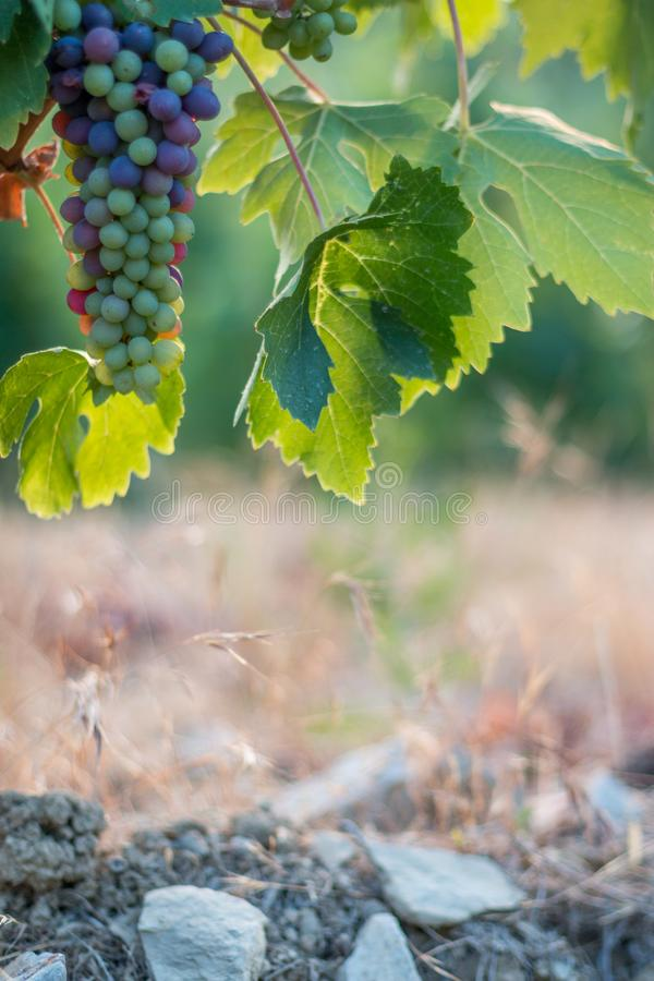 Зрелые виноградины лозы на космосе фермы, соломы и экземпляра Италия Тоскана стоковая фотография rf