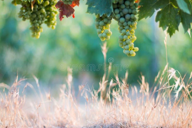 Зрелые виноградины лозы на космосе фермы, соломы и экземпляра Италия Тоскана стоковые фотографии rf