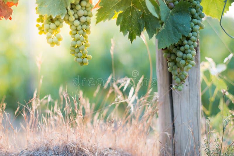 Зрелые виноградины лозы на космосе фермы, соломы и экземпляра Италия Тоскана стоковое изображение rf