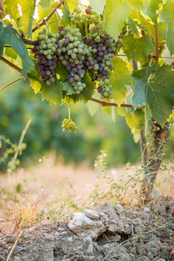 Зрелые виноградины лозы на космосе фермы, соломы и экземпляра Италия Тоскана стоковая фотография