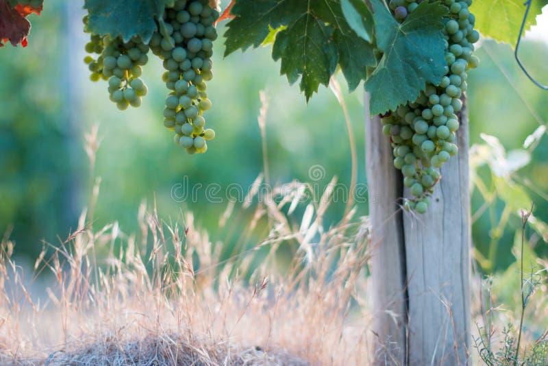 Зрелые виноградины лозы на космосе фермы, соломы и экземпляра Италия Тоскана стоковые фото