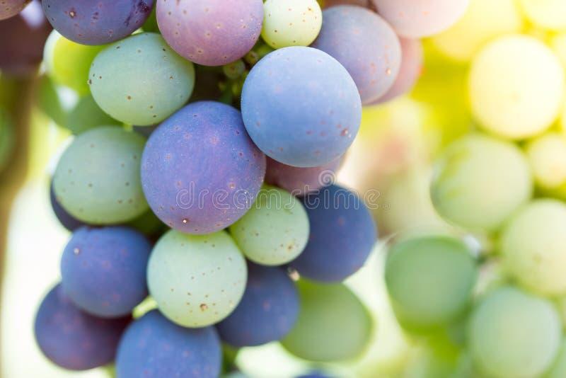 Зрелые виноградины лозы на ферме, Тоскане, Италии стоковое фото