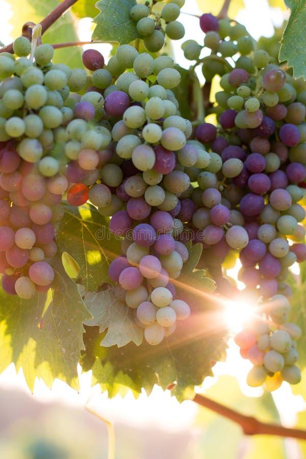 Зрелые виноградины лозы на ферме, Тоскане, Италии стоковое изображение