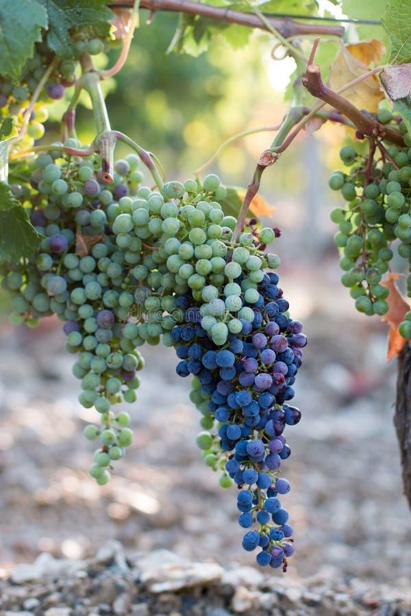 Зрелые виноградины лозы на ферме, Тоскане, Италии стоковые изображения