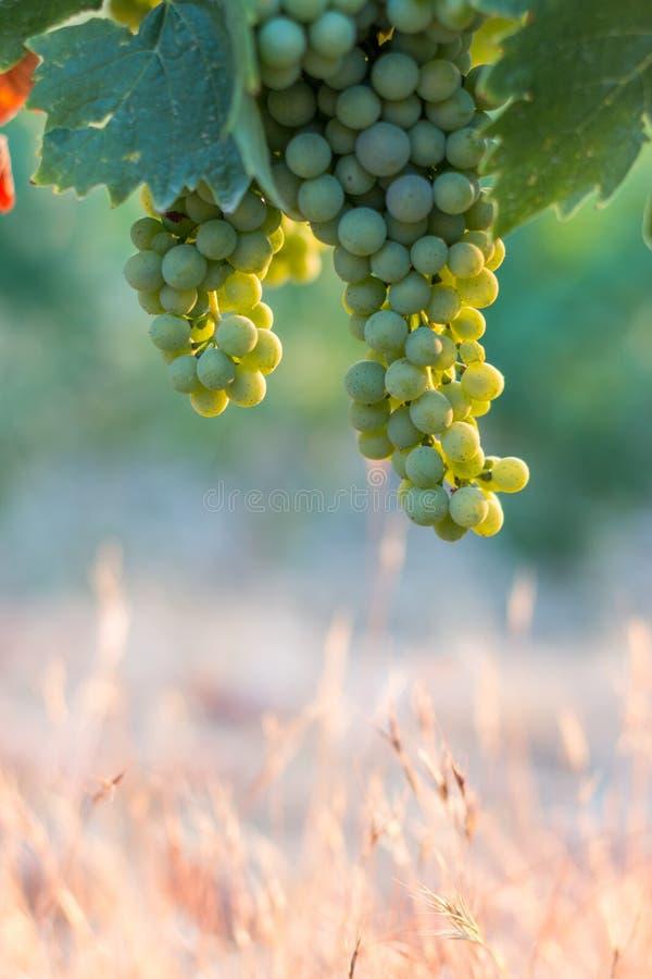 Зрелые виноградины лозы на ферме, Тоскане, Италии стоковое фото rf