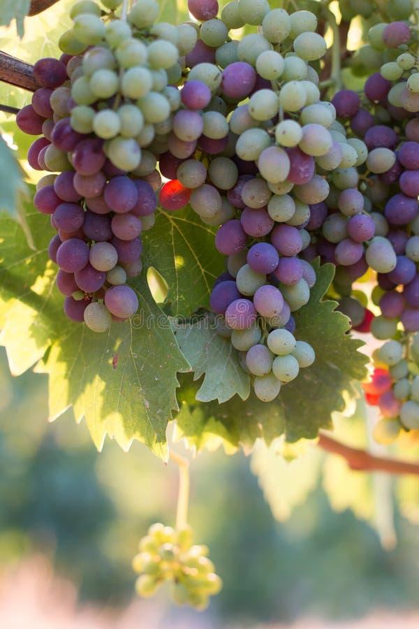 Зрелые виноградины лозы на ферме, Тоскане, Италии стоковые фотографии rf