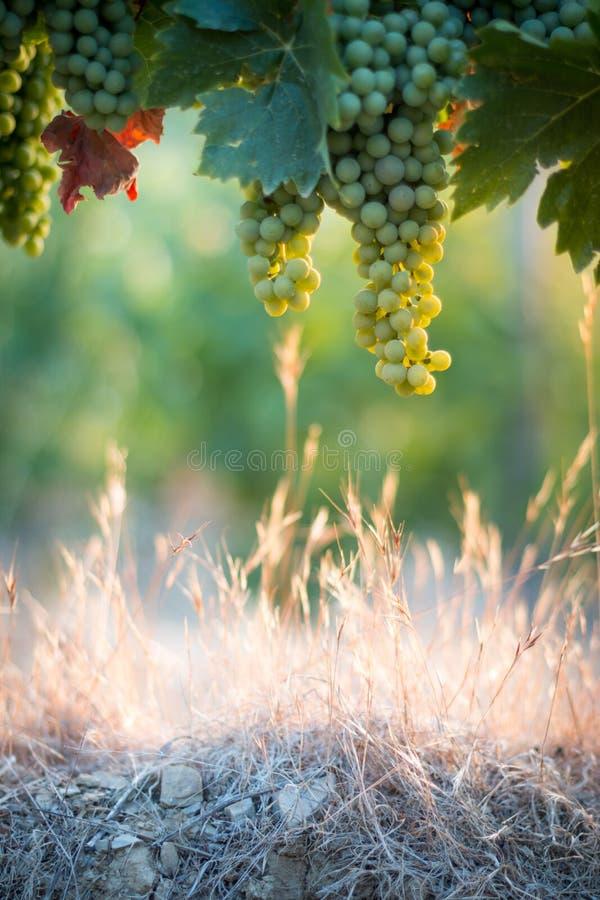 Зрелые виноградины лозы на ферме, Тоскане, Италии стоковые изображения rf