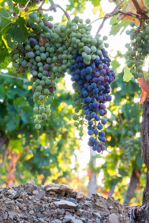 Зрелые виноградины лозы на ферме, Тоскане, Италии стоковая фотография