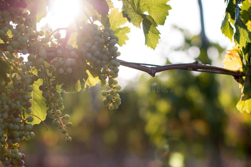 Зрелые виноградины лозы на ферме, Тоскане, Италии стоковые фото