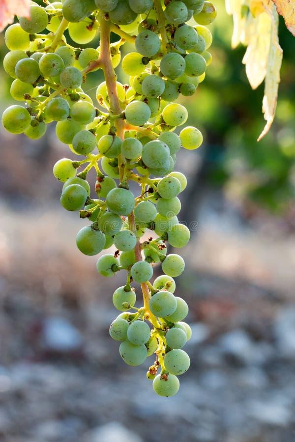 Зрелые виноградины лозы на ферме, Тоскане, Италии стоковая фотография rf
