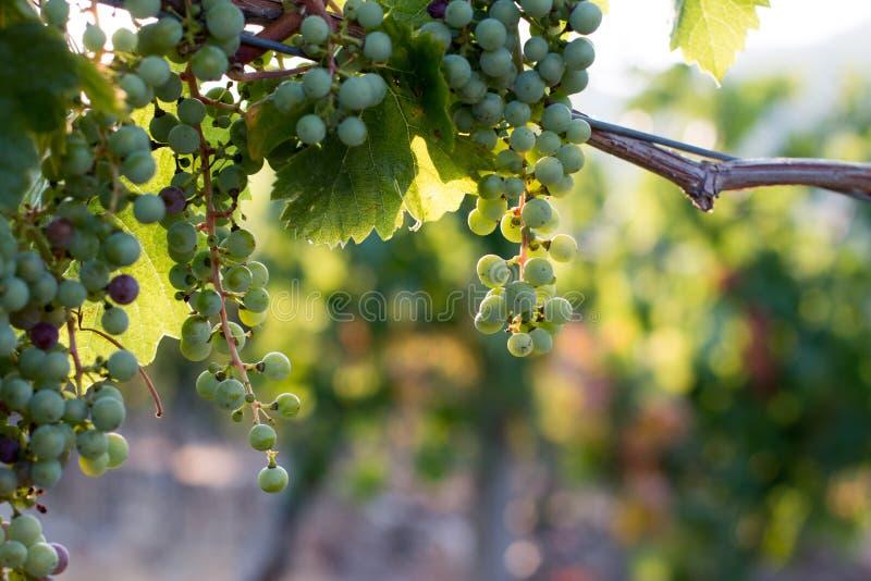 Зрелые виноградины лозы на ферме, Тоскане, Италии стоковое изображение rf