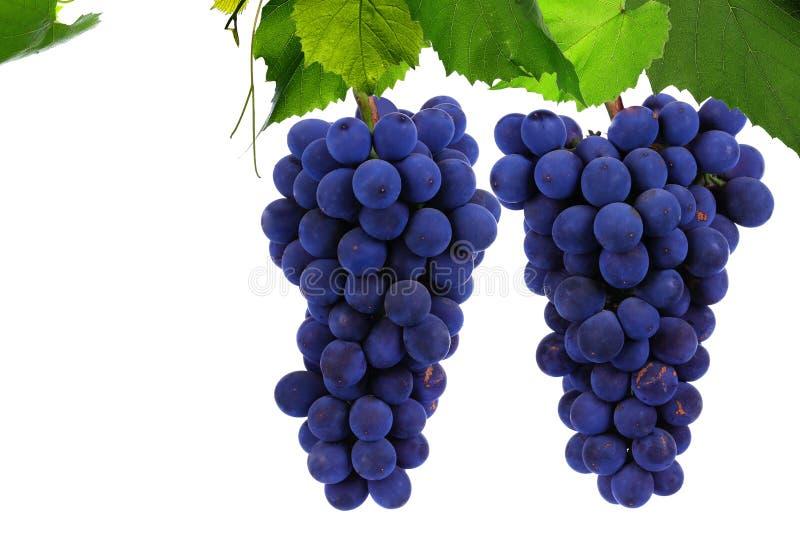 Зрелые виноградины на белой предпосылке стоковые изображения rf