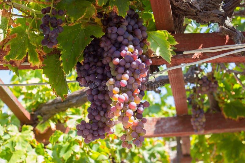 Зрелые виноградины на виноградном вине, на летний день стоковое изображение rf