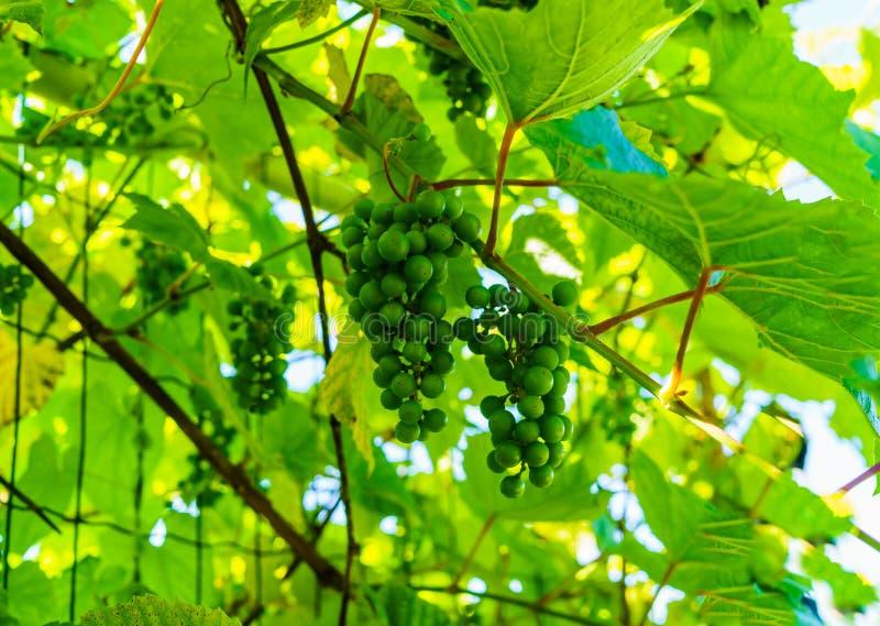 Зрея зеленые виноградины вися на ветвях виноградин стоковые фото