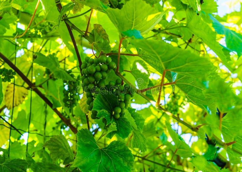 Зрея зеленые виноградины вися на ветвях виноградин стоковое изображение