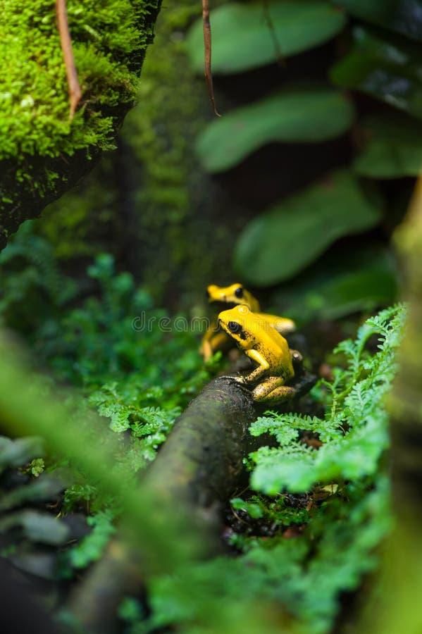 Золотая лягушка стрелки отравы стоковое фото rf