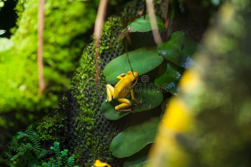 Золотая лягушка стрелки отравы стоковые изображения rf