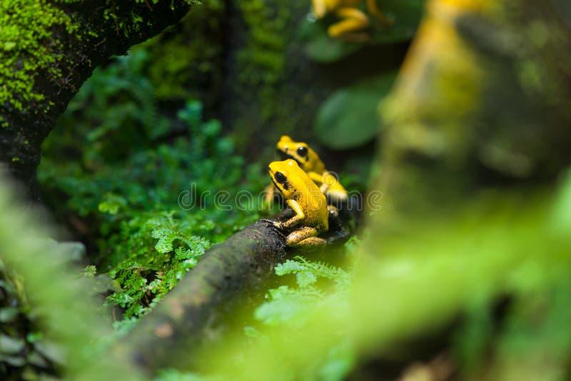 Золотая лягушка стрелки отравы стоковые фото