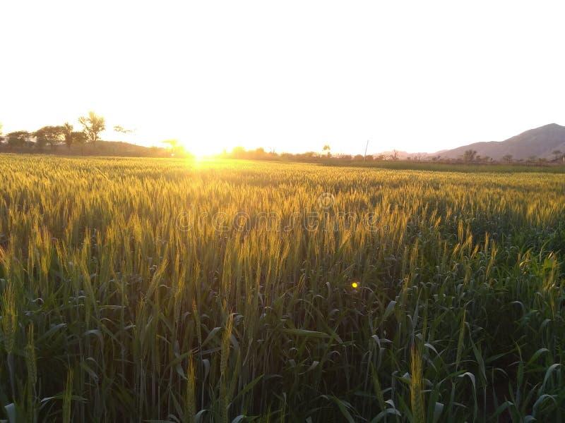 Золотой урожай - заход солнца в индийской ферме деревни стоковые изображения rf