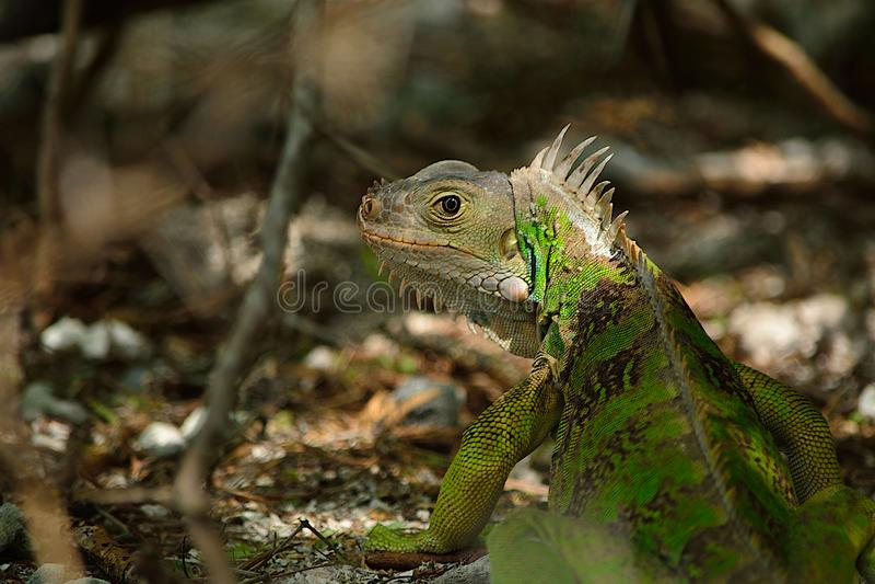 Игуана Cay Тобаго стоковые фотографии rf