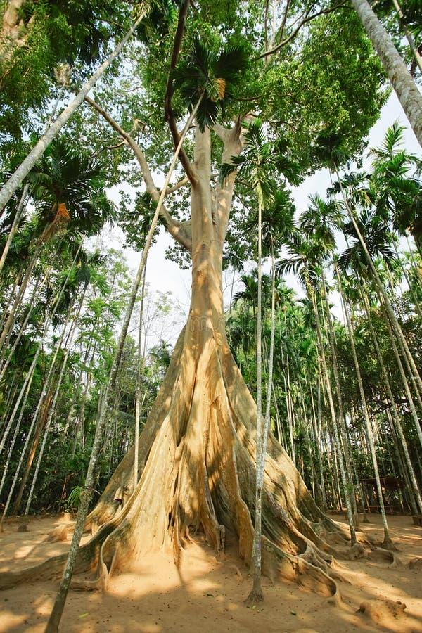 Известное гигантское дерево в Uthai Thani, Таиланде стоковые изображения rf