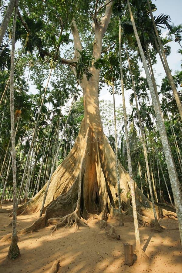 Известное гигантское дерево в Uthai Thani, Таиланде стоковые изображения