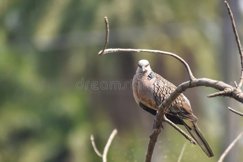 Изображение восточного голубя черепахи, rufous голубя черепахи, orientalis горлицы стоковое фото