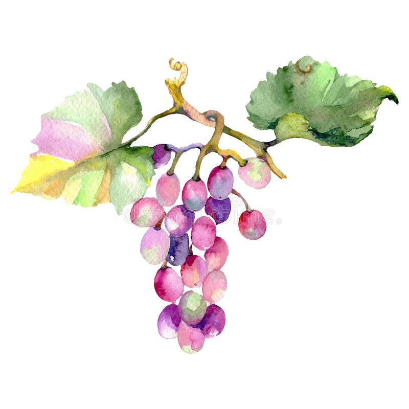 Изолированная еда ягоды виноградины здоровая в стиле акварели акварель конструкции основания предпосылки установленная Изолирован иллюстрация штока