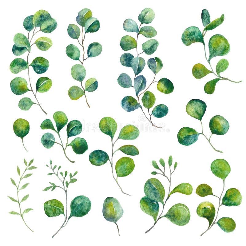 Изолированные элементы эвкалипта Зеленый цвет выходит иллюстрация Листва акварели, ботаническое искусство иллюстрация вектора