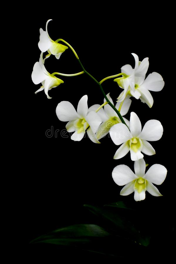 Изолированный белый цветок орхидеи, черная предпосылка стоковые фото