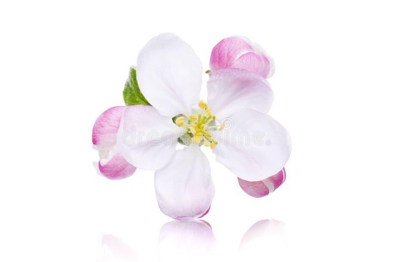 Изолированный цветок Яблока стоковые изображения rf